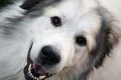 Great Pyrenees Dog pHOTO | AskConfederateTexDog (Stephen) on deviantART