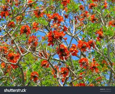 Find Red Flowers Coral Tree Bloom Floral stock images in HD and millions of other royalty-free stock photos, illustrations and vectors in the Shutterstock collection. Thousands of new, high-quality pictures added every day. Red Flowers, Photo Editing, Royalty Free Stock Photos, Bloom, Coral, Victoria, Illustration, Garden, Pictures