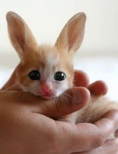 "Okay, I saw this and said ""hey, what kind of kitten is this with the big ears and where can I get one?""  Then I realized that this is a baby Fennec Fox.  Still...he is a cutiepatootie!"