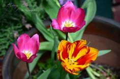 The Tulips at our front doorstep.