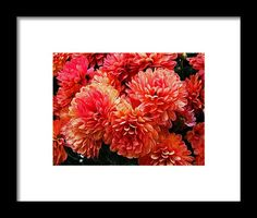 mums, orange, flower, nature, bloom, blossom, michiale schneider photography