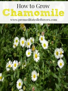 How to Grow Chamomile: Tips for growing chamomile including how to plant chamomile, how to care for your chamomile plants and how to harvest Chamomile