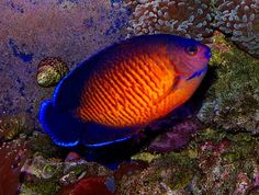 Angel Coral Beauty (Centropyge bispinosus) also known as Dusky Angelfish, Two Spined Angel Fish