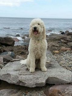 One cool Doodle! Looks a lot like my Shandy! Chien Goldendoodle, Goldendoodles, Labradoodles, Cockapoo, Baby Dogs, Pet Dogs, Animals And Pets, Cute Animals, Puppies And Kitties