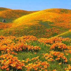 California wildflowers - golden poppies
