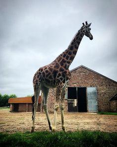 You're having a #giraffe
