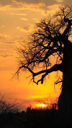 ♂ Sunset Sunrise  Silhouette Baobab Tree In Tanzania