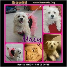Macy (female) Maltese Mix Age: Puppy Compatibility: Good w/ Most Dogs, Good w/ Most Cats, Good w/ Kids and Adults Personality: Average Energy, Somewhat Dominant Health: Spayed, Vaccinations Current Macy is a 10 month old, female Maltese mix. Adorable lil girl that loves to be with her human. Very affectionate & loyal. Loves to be in the action. Good with other dogs & kitties! Loves to romp with his foster siblings. Toys & chew bones are a must for her! Leash & crate trained. Still learning…