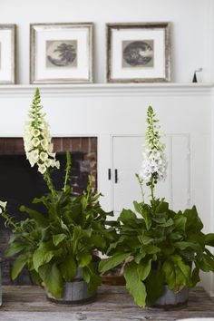 FOXGLOVE ~ This upcoming weekend, Connecticut Country House is hosting a private event for WSHU and Suzanne Bona's Sunday Baroque radio program. I want to make it really special, so the most beautiful and striking way to decorate keep reading