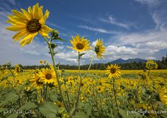 San Francisco Sunflowers - Wild in Arizona
