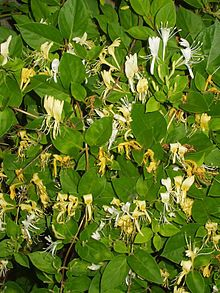 Hall's Honeysuckle (Japanese Honeysuckle) - Nice climbing vine. Loves heat. Can handle bad soil and full sun. Native of east Asia.