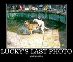 Funny Lucky Dog Tiger Fail