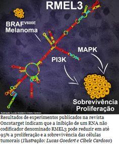 Estudo identifica novo alvo para o tratamento de melanoma  A inibição de um RNA conhecido como RMEL3 pode reduzir em até 95% a viabilidade de células de melanoma em cultura