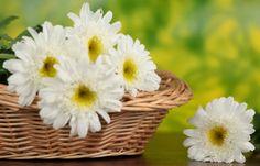 white gerbera daisy flower Candy Flowers, Bulb Flowers, Tulips Flowers, Sugar Flowers, Fresh Flowers, Beautiful Flowers, Online Flower Shop, Flowers Online, Types Of White Flowers
