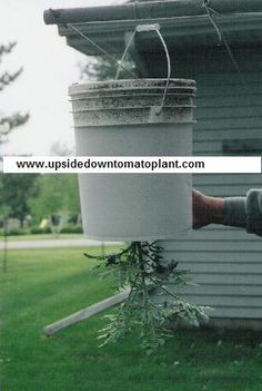 Instructions for growing tomatoes upside down in 5 gallon buckets - much cheaper and better than commercial products! And you can bring inside when frost starts.