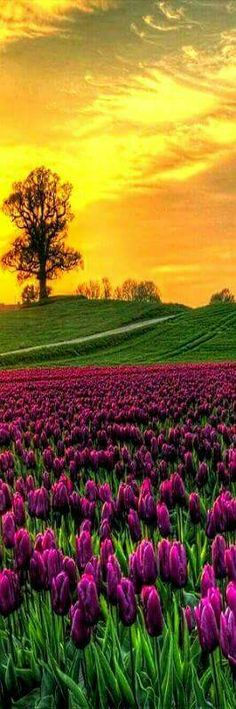 Sunrise on Field of Tulips -- Vesterborg, Denmark - Gorgeous Picture. I must visit Denmark Beautiful World, Beautiful Places, Stunningly Beautiful, Amazing Places, Tulip Fields, Field Of Tulips, Amazing Nature, Belle Photo, Pretty Pictures