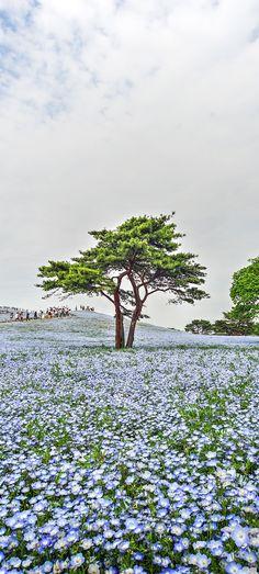 国営ひたち海浜公園のネモフィラの花 | 茨城県の撮影スポット | 高杉まさよし@OKUTA |リフォーム・マンションリフォームならLOHAS studio(ロハススタジオ) presented by OKUTA(オクタ)