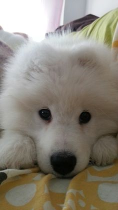 Sookee <3 our samoyede