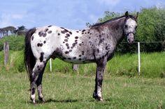 Grey App with blanket Most Beautiful Horses, All The Pretty Horses, Animals Beautiful, Dressage Horses, Appaloosa Horses, Breyer Horses, Leopard Appaloosa, Barrel Racing Horses, Majestic Horse