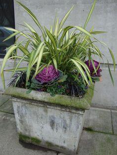 Ornamental cabbage planter