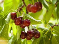Kirschen direkt vom Baum essen - das weckt Kindheitserinnerungen
