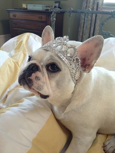 """""""I always knew I was a Princess""""... """"Now It's official"""", French Bulldog Royalty ; }"""
