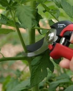 How to Prune Tomato Plants! Makes a big difference in their strength, growth and production!