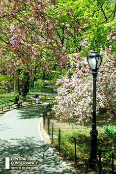 Cherry blossoms ~ Central Park, NYC