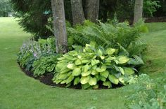 Hostas with ferns.