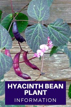 Hyacinth Bean Plant Information Garden Vines, Fall Vegetables To Plant, Plant Leaves, Purple Beans, Bean Plant, Plant Information, Hyacinth Bean Vine, Edible Garden, Planting Flowers
