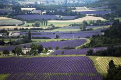 Provence's Legendary Lavender and Olives Threatened by a Changing Climate