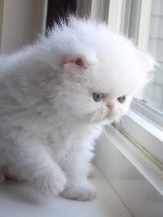 38 New Ideas For Cats Cute Fluffy White Kittens White Persian Kittens, White Kittens, Black Cats, Beautiful Cats, Animals Beautiful, Beautiful Pictures, Baby Animals, Cute Animals, Fluffy Kittens