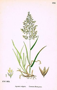 """From Sowerby's book """"ENGLISH BOTANY"""" or """"COLOURED FIGURES of BRITISH PLANTS"""" published in London by George Bell & Sons in 1873. It was edited by John boswell Syme. James Sowerby (1757-1822) who traine"""