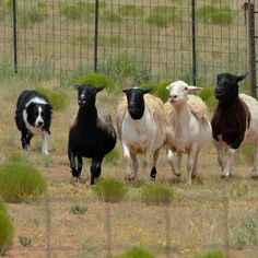 My double herding champion Joker (the best Border Collie ever!) herding sheep. #herding #border #collie