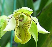 Dendrobium macrophyllum