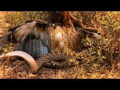 Deadly cobra with eagles || aerial ambush tactics | Wildlife
