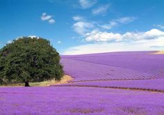 this is not Provence, France. Lavender fields in Texas Hill Country Beautiful Places To Visit, Beautiful World, Beautiful Notes, Beautiful Flowers, Fredericksburg Texas, Texas Hill Country, Lavender Fields, Lavander, Plantar