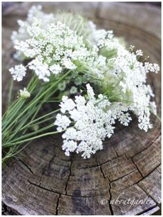 Queen Anne's Lace  -  via (7) Tumblr   - Colors:  White, Green, Brown