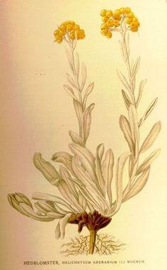 The fresh or dried flowers of Everlasting Flower (AKA Dwarf Everlast or Immortelle) has choleretic and diuretic properties. Plant Illustration, Botanical Illustration, Botanical Art, Helichrysum Italicum, Real Nature, Flower Phone Wallpaper, Growing Flowers, Pretty Flowers, Modern Art