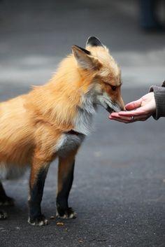 fox feeding from hand