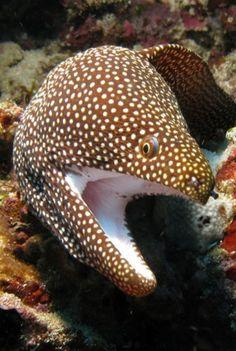 White-mouth Moray Eel by prilfish Underwater Creatures, Underwater Life, Ocean Creatures, Life Under The Sea, Marine Fish, Marine Aquarium, Aquarium Fish, Beautiful Fish, Sea And Ocean