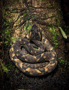 A Jararacuçu (Bothrops jararacussu) é uma das maiores responsáveis por acidentes envolvendo pessoas picadas por cobras. Também conhecida como surucucu, a víbora venenosa pode medir até 2 metros de comprimento - e tem capacidade de dar um bote com a distância dela mesma: http://abr.ai/1uFJipP