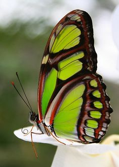 The Malachite Butterfly. Rare in South Florida but we saw one 3 days after a hurricane and took it as a sign of hope...