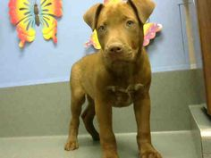 URGENT ID#A448778 I am described as a male, brown and white Pit Bull Terrier mix. The shelter thinks I am about 4 months old I have been at the shelter since May 05, 2015 and I may be available for adoption on May 12, 2015 Moreno Valley, CA Animal Services