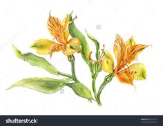 Watercolor Alstroemeria Flowers On White Background. Hand Drawn Botanical Illustration