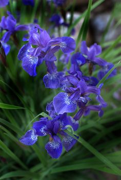 outdoormagic:  Iris Japanese Purple by Nate A