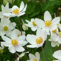 Fall blooming Anenome!  A crisp, cool, white for fall!