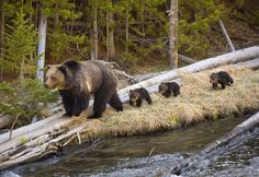 A Grizzly and her new cubs walk on the deadfall beside a river in Yellowstone National Park.