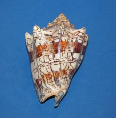 SEASHELLS  VOLUTA EBRAEA, COLORFUL, 117MM, SHELLS