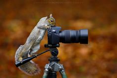 Gremlin - A bit of fun! Wild Grey Squirrel getting to grips with an SLR against a background of fallen leaves. York, UK, November